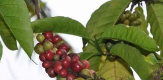 produksi kopi arabika