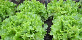 sayuran yang cocok ditanam saat musim hujan
