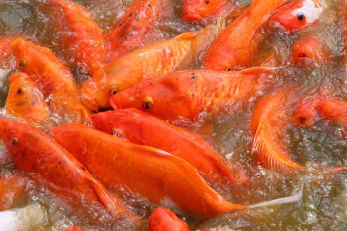 produksi ikan mas