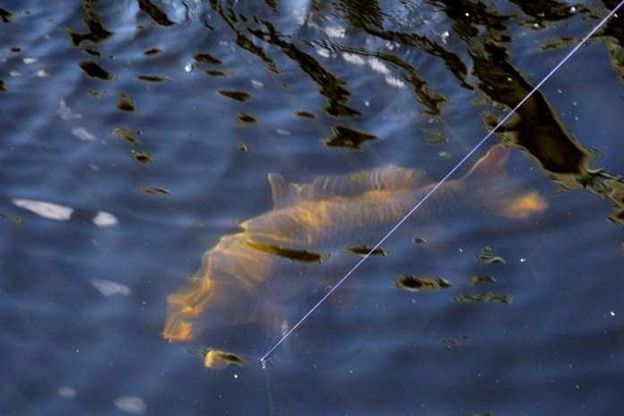 cara membuat umpan ikan mas