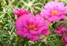 cara menanam bunga portulaca