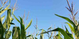 Menananm jagung yang baik dan benar