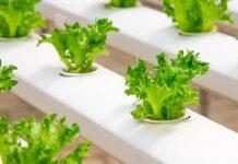 cara menanam selada idroponik