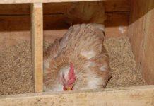 cara menghilangkan sifat mengeram pada ayam kampung