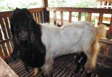 ciri-ciri umum kambing peranakan etawa