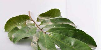 daun sirsak dipercaya mampu sembuhkan miom