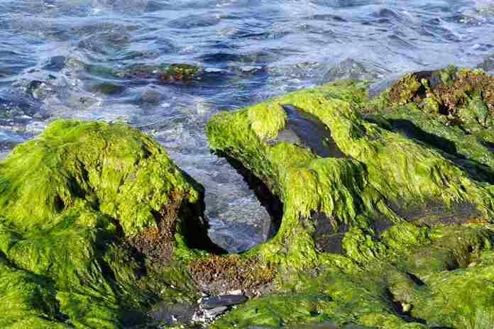 ganggang laut bisa digunakan untuk menyalurkan listrik