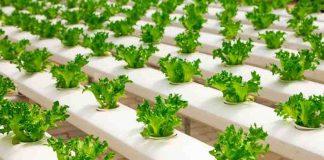 jenis sayuran yang bisa ditanam secara hidroponik
