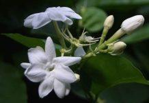 jenis-jenis tanaman melati penghias rumah