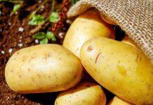 kentang berwarna kehijauan