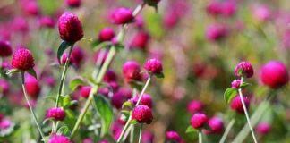 manfaat bunga kenop