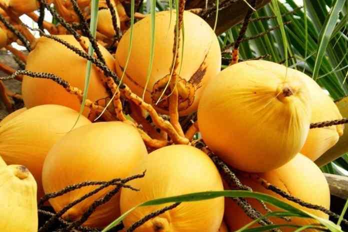 manfaat dahsyat kelapa kuning