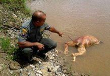 orangutan ditemukan mati tanpa kepala