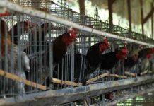 penyakit yang sering menyerang ayam kampung