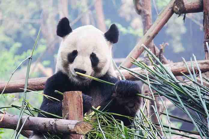 tisu dari kotoran panda