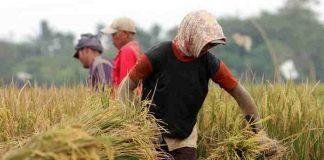 Petani Bali panen padi