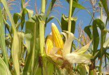 petani jagung