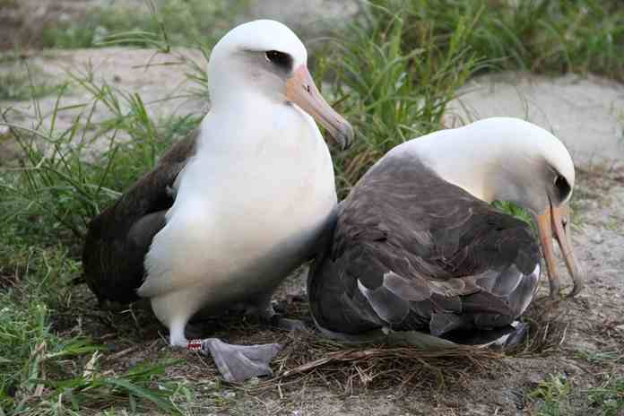 Wisdom, burung tertua di dunia
