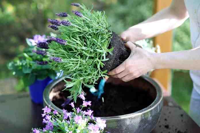 cara menanam lavender di rumah