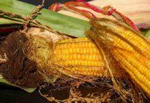 Karakteristik tanaman jagung manis unggul