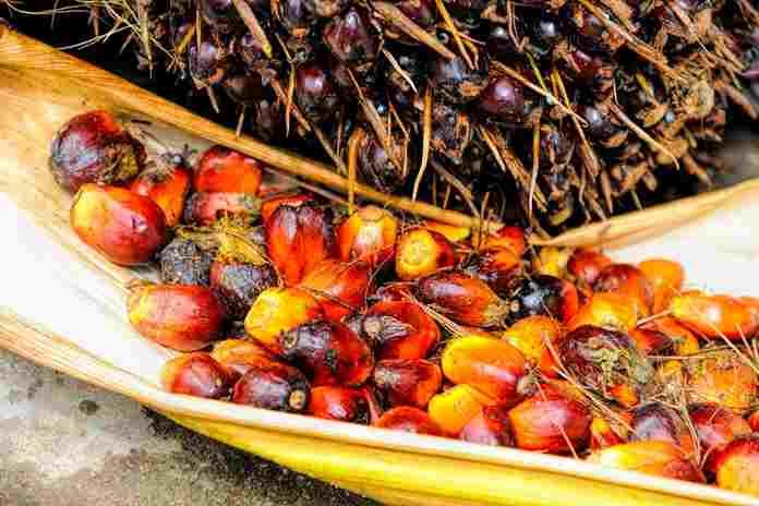 bibit unggul kelapa sawit