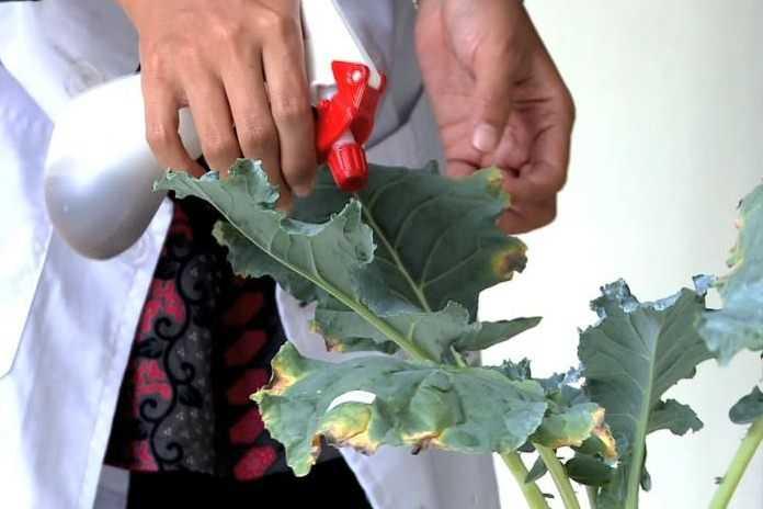 cara membuat pestisida nabati