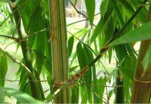 cara menanam bambu