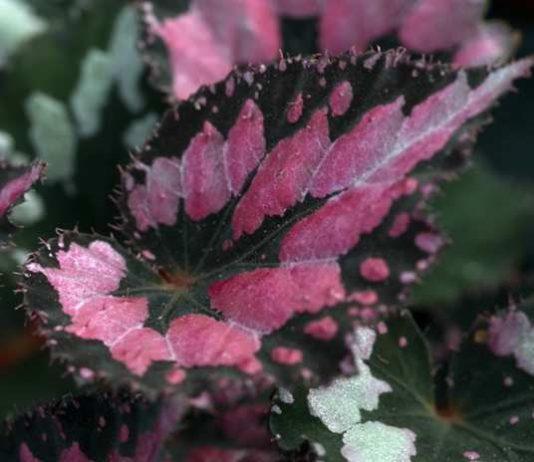 cara menanam begonia