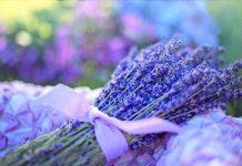 cara menanam lavender dari setek