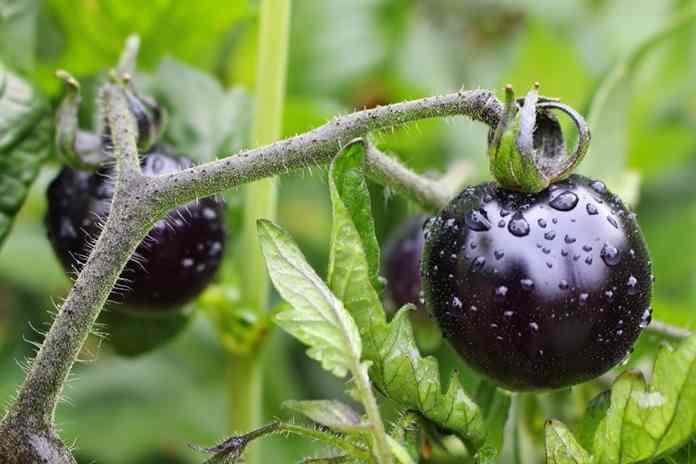 tomat hitam