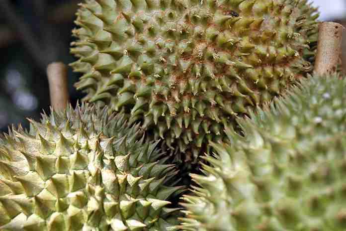 durian asal Padang
