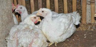 jenis penyakit ayam broiler
