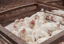 jenis sistem usaha ayam broiler