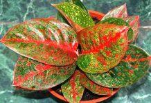 jenis tanaman hias aglaonema