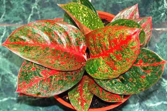 jenis tanaman aglaonema