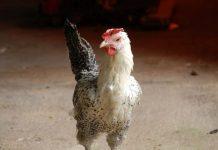 jenis-jenis ayam buras
