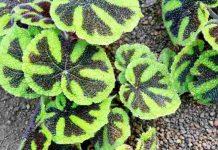 jenis-jenis begonia eksotik