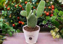 khasiat kaktus