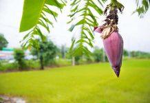 jantung pisang