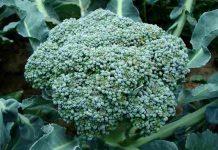 menanam brokoli secara hidroponik