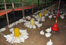 Panen ayam broiler setiap bulan