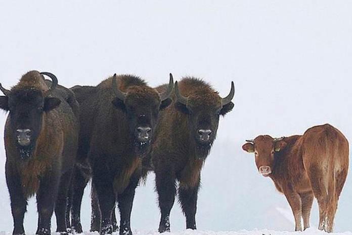 seekor sapi ternak bergabung dengan kawanan bison liar
