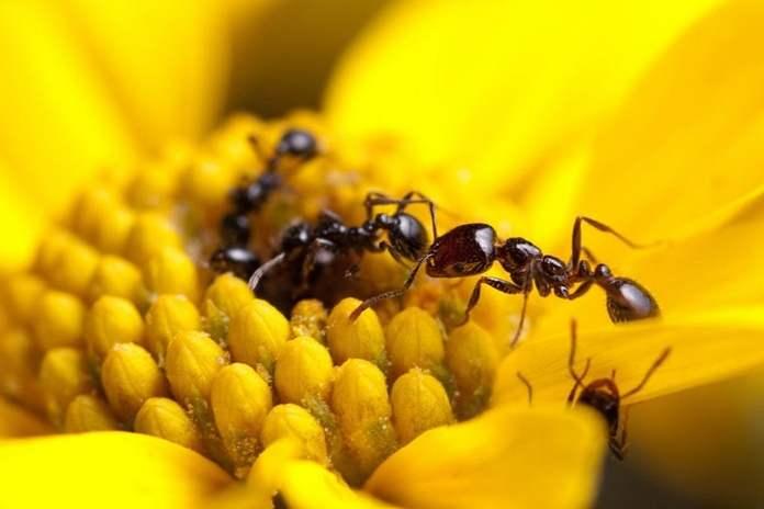 Spesies semut bisa jadi sumber antibiotik