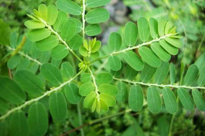 tanaman meniran