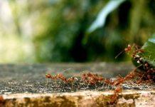 semut bermanfaat untuk kebun