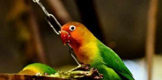 tips meracik sendiri pakan lovebird