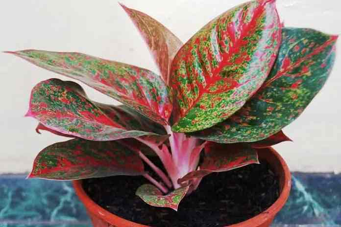 tumbuhan paling mahal di dunia