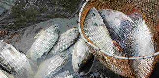 budidaya ikan nila di kolam kecil