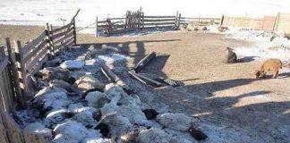 700 ribu ternak di Mongolia tewas