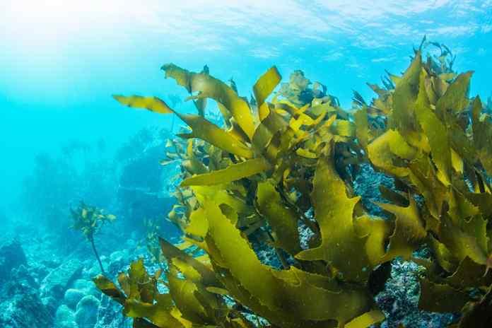 88 spesies rumput laut